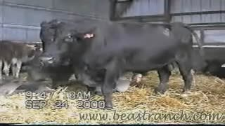 Zoophile jerks off a bull and then slurps sperm